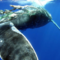 Tail-view of humpback whale tangled in rope and nets underwater.