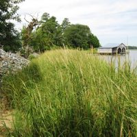 The restored shoreline near the Indian River Power Plant is revegetated.
