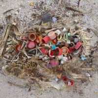Remains of dead baby albatrosses on a beach with plastic debris.
