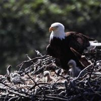 Bald Eagle adult and chicks in the Pelican Harbor nest on Santa Cruz Island.