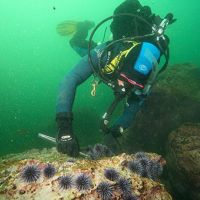 A volunteer diver removes urchins from an urchin barren in southern California.