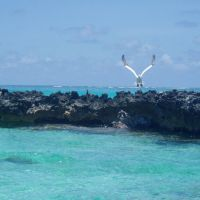 Red-footed booby coming to land near ocean atoll.