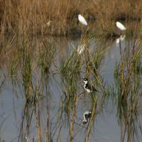 A black-necked Stilt and Snowy Egrets in the restored wetland habitat.