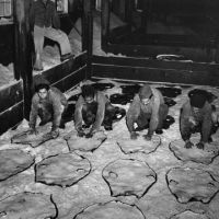Workers salting fur seal skins in a factory.