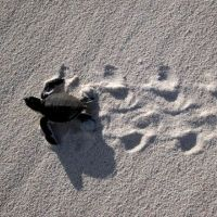 Green sea turtle hatchling making tracks in the sand.