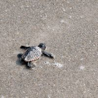 A hatchling loggerhead sea turtle takes to the beach.