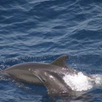 A bottlenose dolphin calf in the Gulf of Mexico. Image credit: NOAA