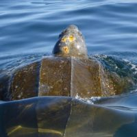 Leatherback sea turtle swimming. Image credit: NOAA.