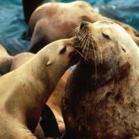 Two Steller sea lions. Image credit: NOAA.