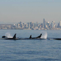A group of orcas with a city skyline in the background.