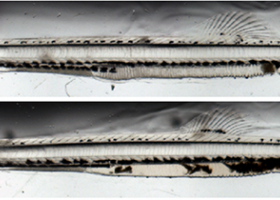 Two fish larvae.