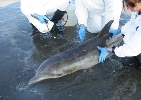 People in white coats working with a dolphin.