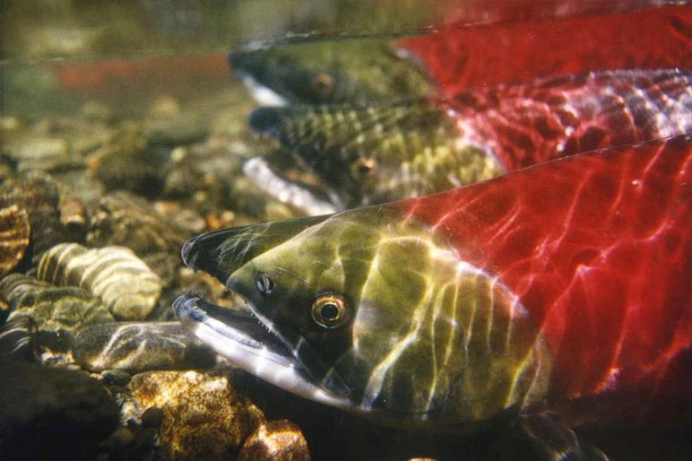An underwater image of salmon.