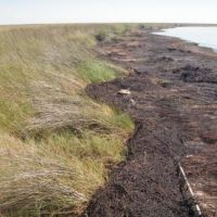 Oiled shoreline with marsh grass.