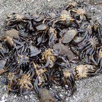 Oiled crabs.
