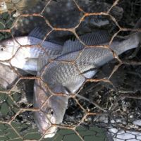Fish trapped in a net.