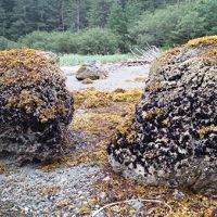Two mussel-covered boulders on the ocean edge.