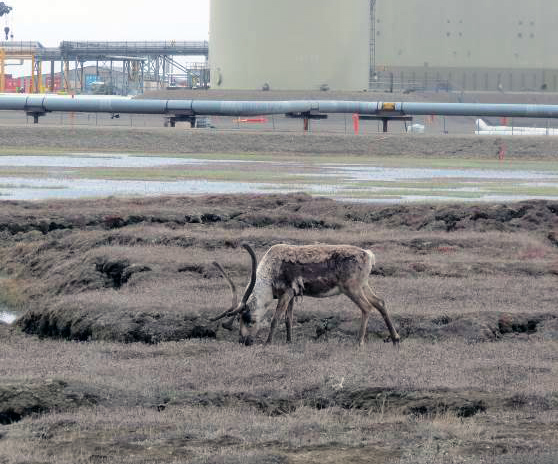 A caribou next to the Trans Alaska Pipeline and a building.