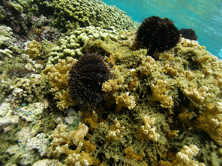 Sea urchins grazing on seaweed on a coral reef.