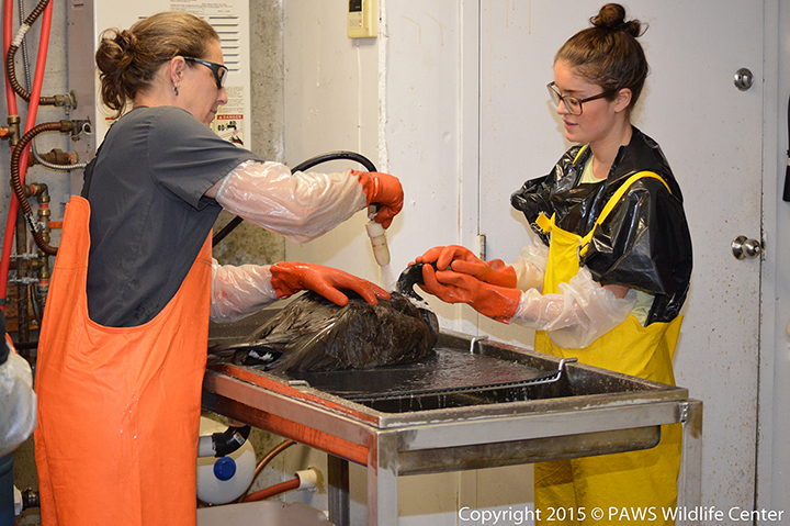 Two women in overalls and gloves spray water to rinse oil and soap from a Canada goose.