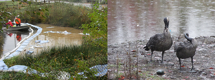 Left: Cleanup workers in a boat remove vegetable oil from a pond with booms and absorbant pads. Right: Two Canada geese try to preen oil from their feathers next to a pond.